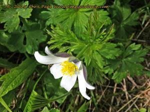 Weiß blüht die Anemone